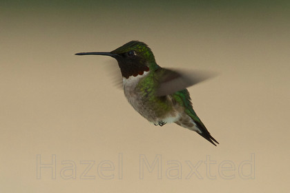 HUMMINGBIRDS 2013 05 201311-44-18 MG 9642 ©HazelMaxted 